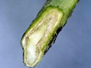 Стебель больного растения в разрезе