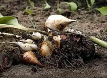 Выкапываем луковицы тюльпанов