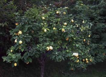 Садовое дерево с урожаем