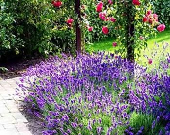 Лавандовые кусты в саду