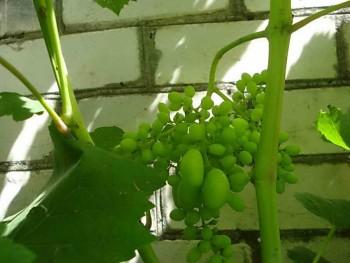 Горошение винограда