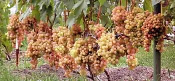 Нагрузка винограда на куст