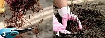 spireya-yaponska-razmnojenie-cherenkami2