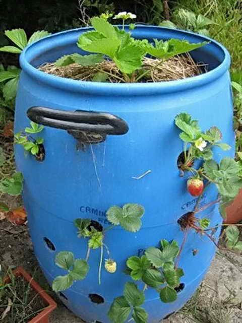 как посадить клубнику в бочке вертикально фото этап легко