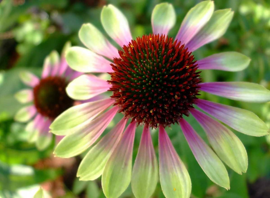 echinacea green envy full picture