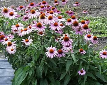 echinacea_purpurea-echinacea-1
