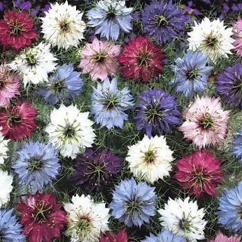 nigella-persian-jewels-mix