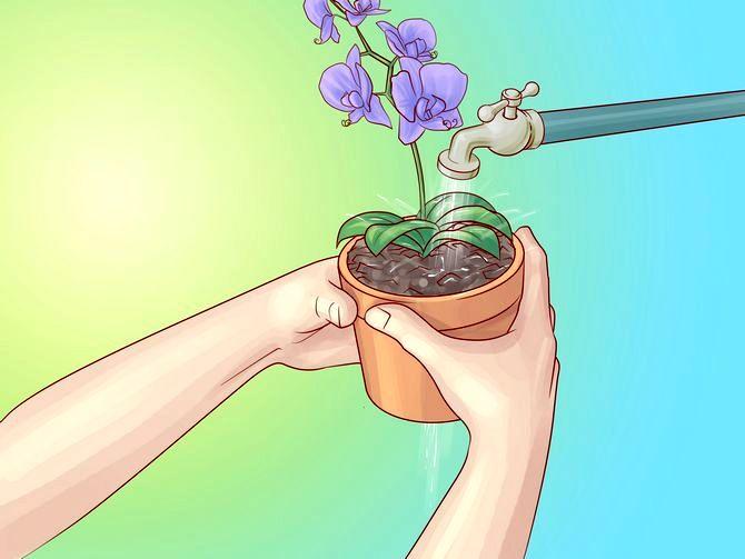 Опасный полив орхидей струей воды