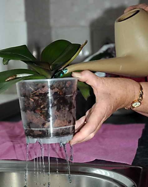 Заливание водой орхидеи