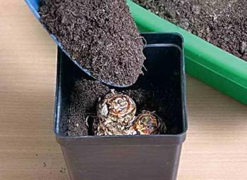 Посадка клубня каллы в землю