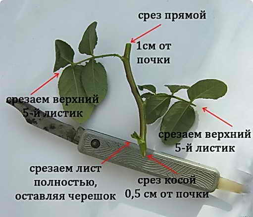 cherenok_rose