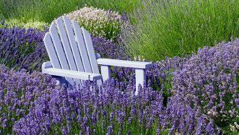 Purple Adirondack chair in field of lavender