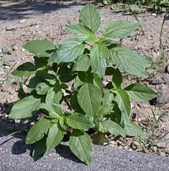 amaranthus-spp