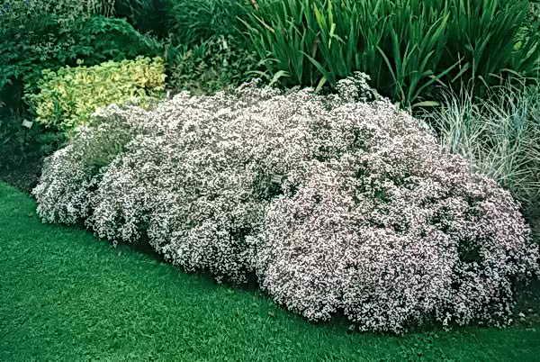 гипсофила в сад