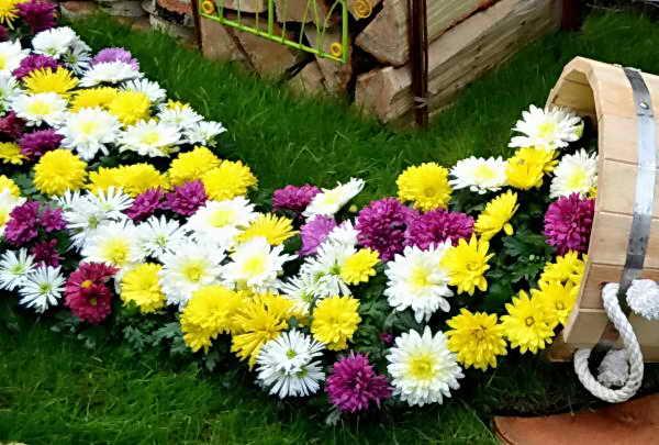 красивый микс из хризантем в саду