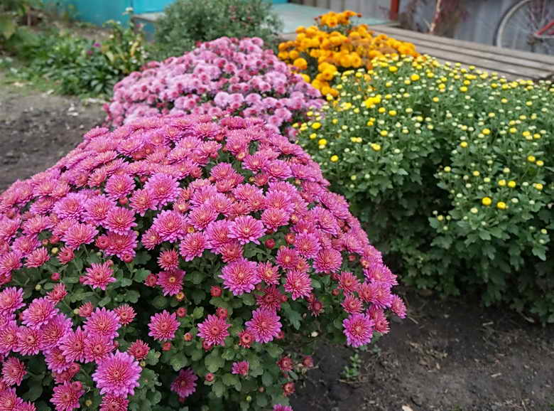 пышное цветение хризантемы садовой