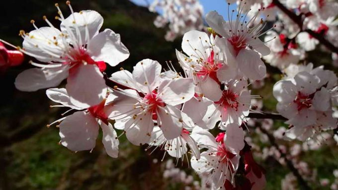 пышное цветение абрикоса, а плодов нет