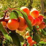 почему абрикос не плодоносит