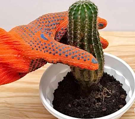 полив кактусов после пересадки