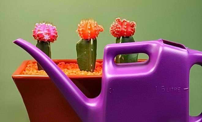 нужно ли поливать кактусы