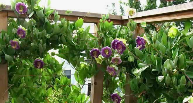 цветение кобеи