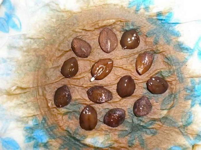 подготовка семян кобеи