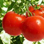 у томатов скручиваются листья