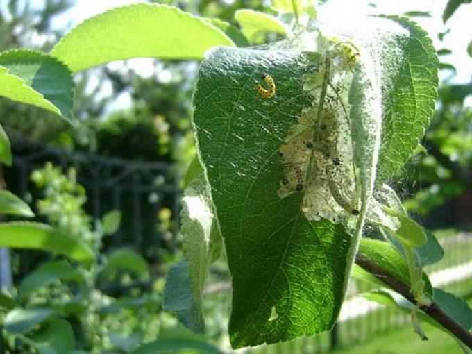яблоневая моль вредитель сада