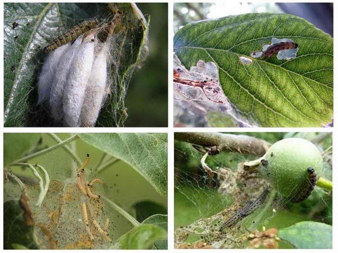 как бороться с яблоневой молью в саду