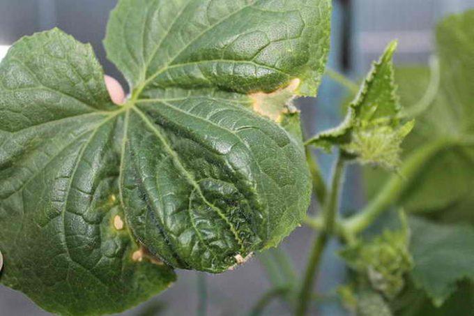 как защитить листья огурцов от скручивания