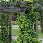 хмель на огороде