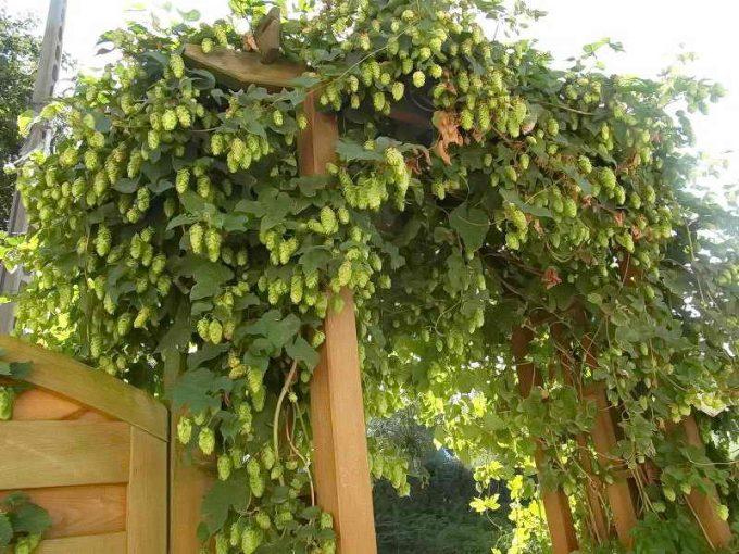 хмель, лиана для сада