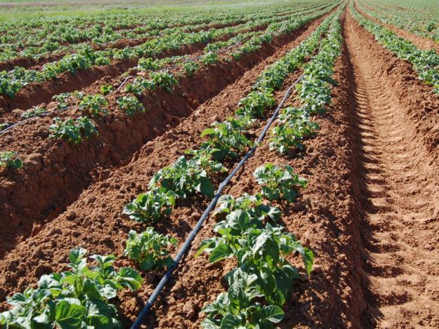Выращивание картофеля в промышленных масштабах бизнес 24