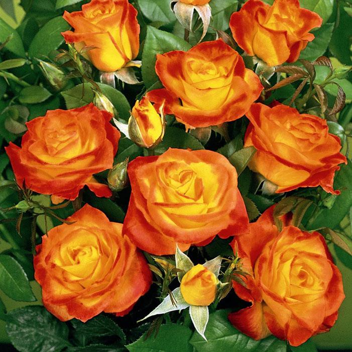 Что такое роза спрей фото и описание