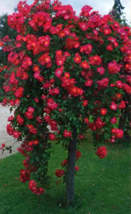 Роза штамбовая фото уход
