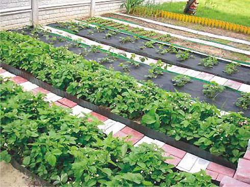 Как правильно делать грядки на огороде для моркови и лука 22