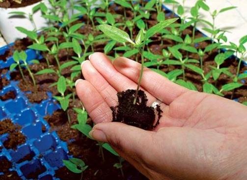 Как вырастить голубику из семян в домашних условиях фото