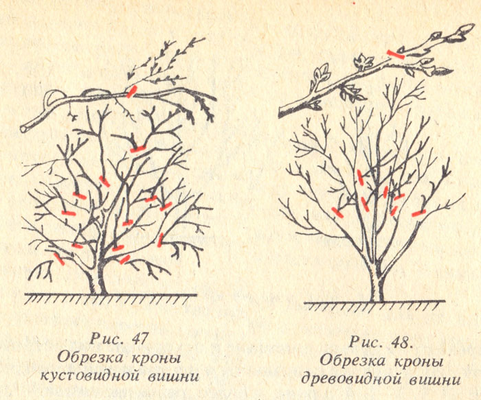 Как сажать вишню весной пошаговая инструкция 66