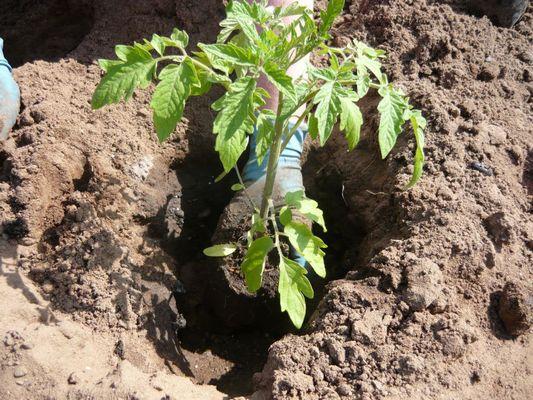 Как посадить рассады помидорами 209