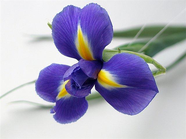 Синие ирисы цветов