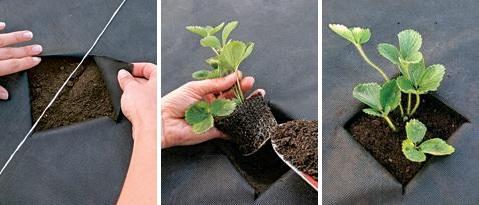 Вирощування клубніки