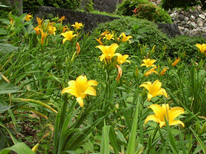 Цветок лилейник посадка и уход, фото, выращивание и сорта; красоднев 14