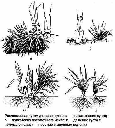 Цветок лилейник посадка и уход, фото, выращивание и сорта; красоднев 54