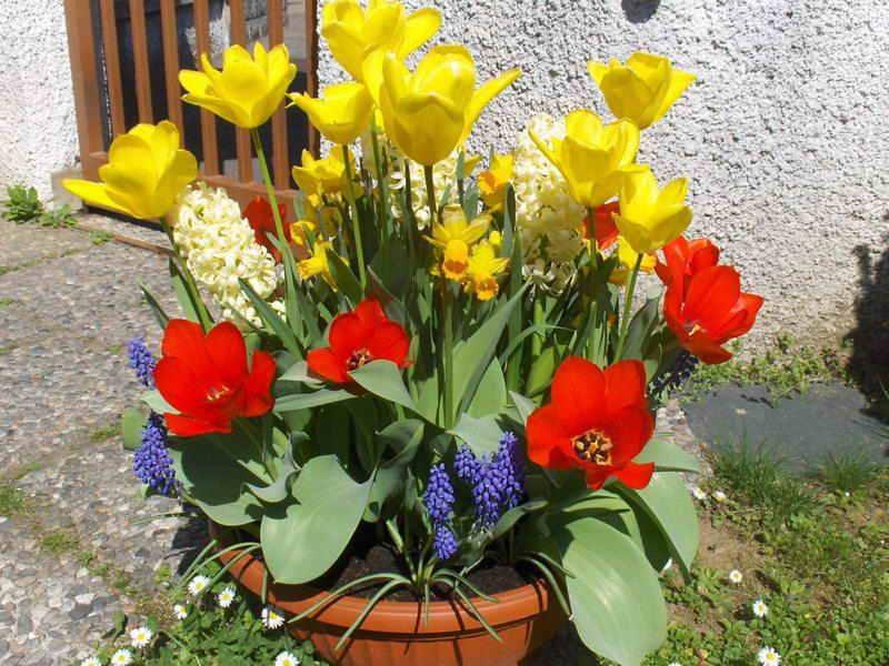 Когда сажать тюльпаны и нарциссы в подмосковье 41