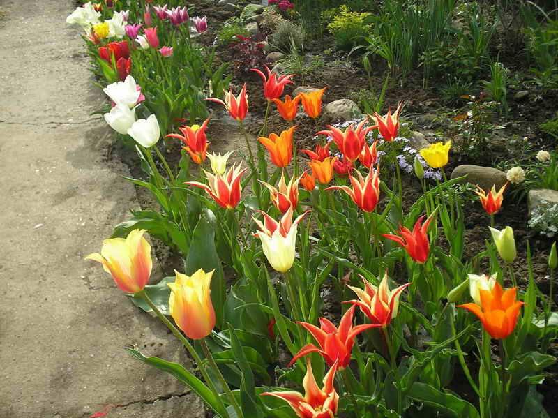 Тюльпан выращивание в саду 169