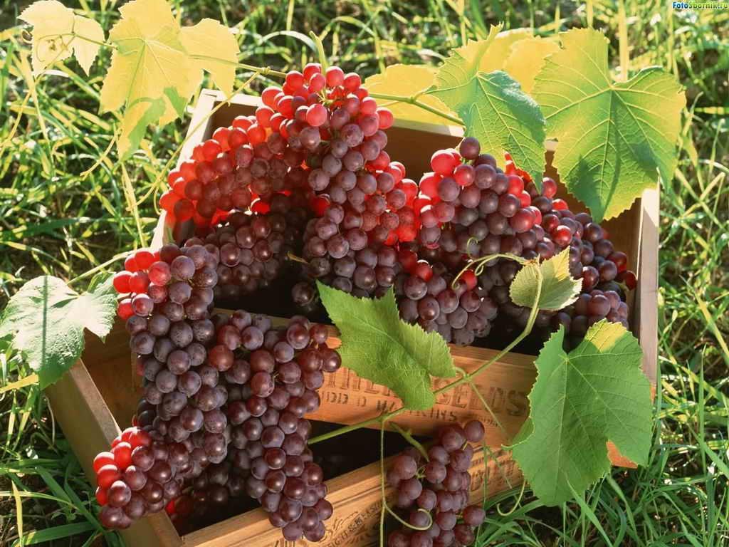 В какое время и как сажать виноград 38