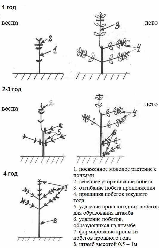 Как сажать штамбовые деревья 11