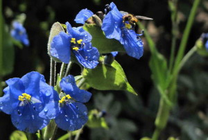 commelina1