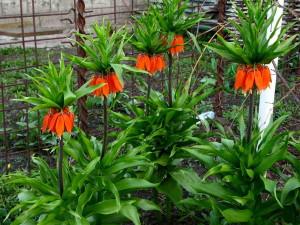 fritillaria-imperialis-2