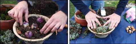 Выкопала гиацинты когда сажать